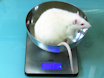 One-anastomosis Gastric Bypass (OAGB) in Rats thumbnail