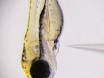 Nel calcio in Vivo Imaging delle cellule ciliate linea laterale in Zebrafish larvale thumbnail